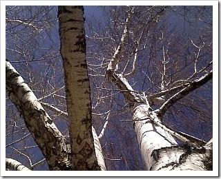 weeping birch March 6 09