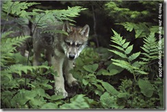 minnesota wolf pup from Defenders of Wildlife site
