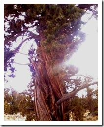 juniper by badlands